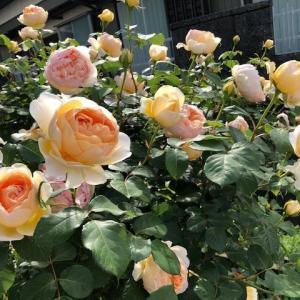 庭のバラたち、そしてさくらんぼ