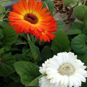 ベランダ風景★ローズマリーと勇敢な蜜蜂