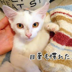 預かり白猫の猫風邪治療★目薬点眼★滞在1週間