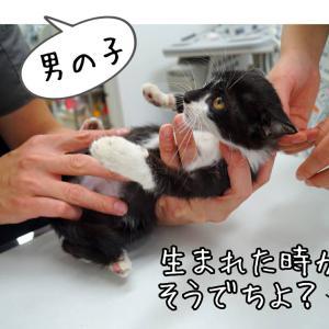 新たに保護したハチワレ子猫、病院へ。ビアンカは譲渡会へ。