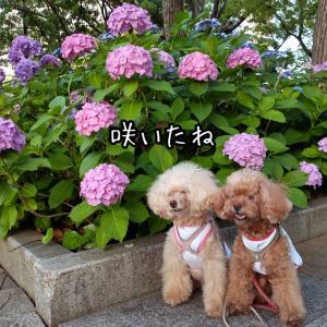 紫陽花と・・・・週末だーーー!