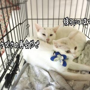 ニーノとミーヤの初譲渡会★白猫親子その12