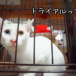 ニーノのトライアルと正式譲渡★白猫親子その14