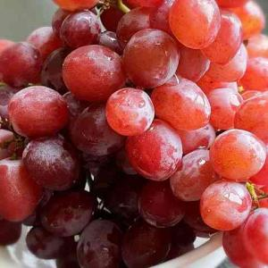 ガムドロップグレープ 甘くて美味しいアメリカのブドウ