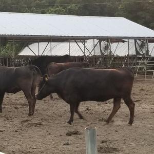 WAGYU関連のお仕事です🎵 【黒毛和牛】