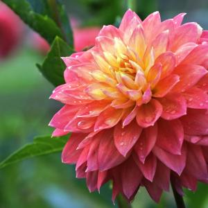 【秩父イベント情報】9/29(日) 両神山麓花の郷 ダリア園において、ダリアまつりが開催されます