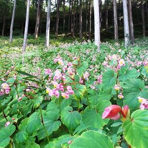 【秩父花だより】札所32番 法性寺に向かう街道のシュウカイドウが咲き始めました