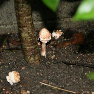 庭にカラカサタケが生える・・。