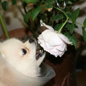 薔薇を食べるポメラニアン・・。