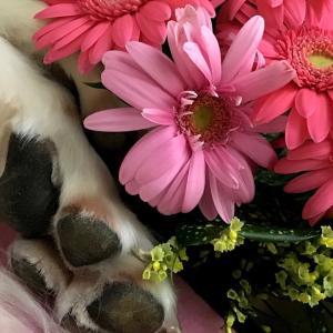 脾臓の腫瘍、血管肉腫⑦《大型犬の介護》