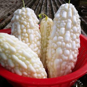 白 ゴーヤ 大収穫 おすすめ大人気