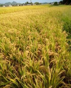新米 稲刈り終了!