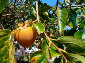 消える柿の謎