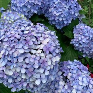 お庭の紫陽花