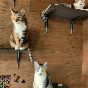 三毛猫ちゃん、里親募集中です!