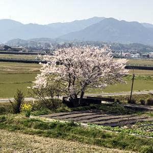 ライブ前練習は桜を見ながら