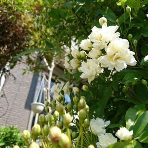 白木香薔薇と羽衣ジャスミンでアーチに