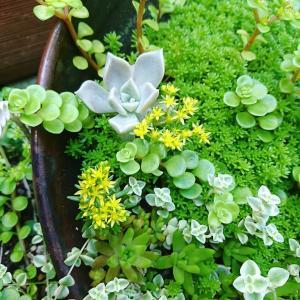 もこもこセダムに黄色いお花