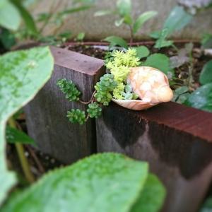 貝殻に植えたセダム