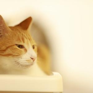 FIP(猫伝染性腹膜炎)と戦うちゃーちゃんへの沢山の拡散のお力添え本当にありがとうございます。