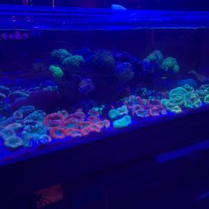 サンゴ入荷