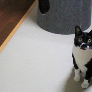 猫に猫耳を見せた結果