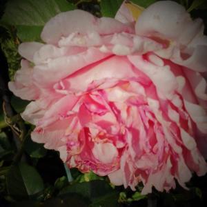 薔薇の夢想