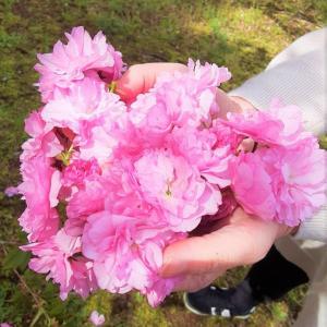 八重桜の生産量日本一