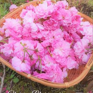 日本一の秦野市で八重桜の収穫スタート