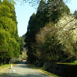 桜を見ながら 城跡散歩