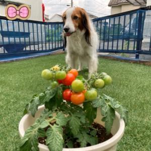 トマト、収穫