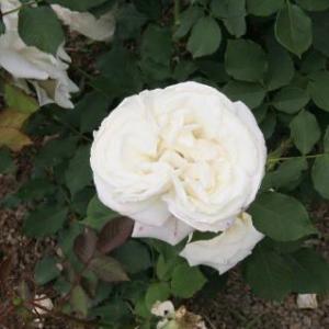 花紀行(5956)-ブライダル・ホワイト バラ-