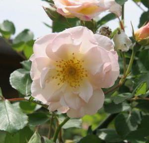 花紀行(5866)-ベネロープ バラ-