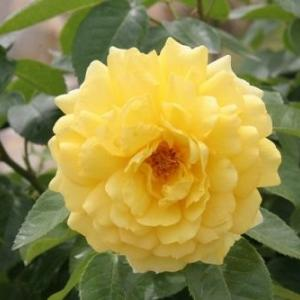 花紀行(5872)-ベロニカ・アーノット バラ-