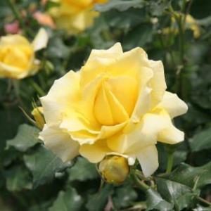 花紀行(5885)-ホワイト・ゴールド バラ-