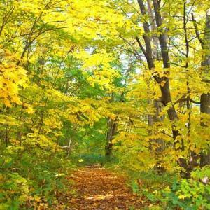 私の散歩道の「黄葉」です ♪