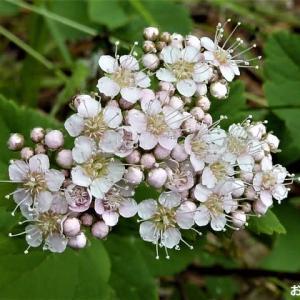 「穂咲き下野 (ホザキシモツケ)」が 咲きました ♪