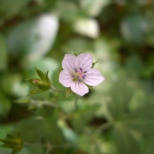 「現の証拠」は 小さくて可愛い花です ♪