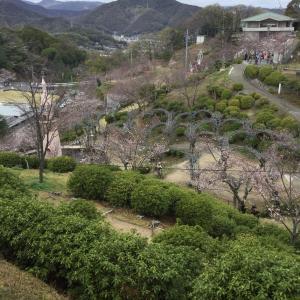 桜土手の桜の咲き方がまちまち