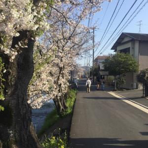 桜土手の桜はまだ大丈夫