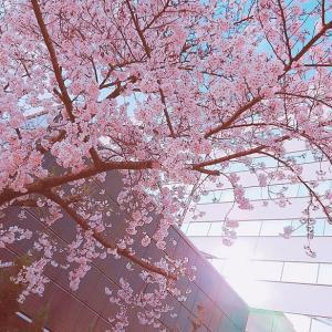 【頑張りましょう!】地元の桜と誓う【明日】