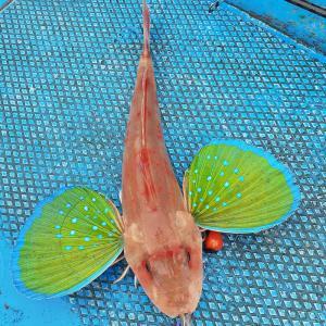 12/9(月)釣って初めて知った高級魚。
