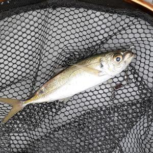 アジ釣ってからの泳がせ釣り。