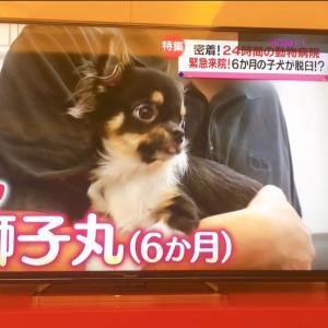 日本テレビ【news every 】密着!24時間の動物病院*緊急来院!6か月の子犬が脱臼?