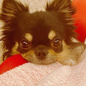 我が家の愛犬【獅子丸】 この顔で見つめられると・・・【すみれ】膝蓋骨脱臼手術後