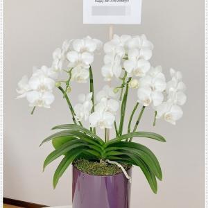ミディ胡蝶蘭【幸福が飛んでくる】8周年のお祝いにお花を頂きました。鉢も紫にコーティング