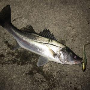 シーバス、今年の釣り納め。