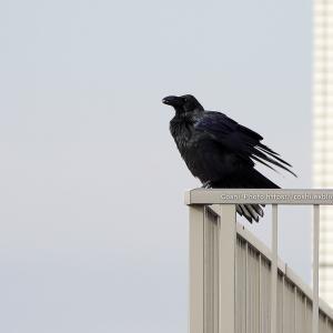 リベンジ!? 都心の屋上で野鳥撮り?