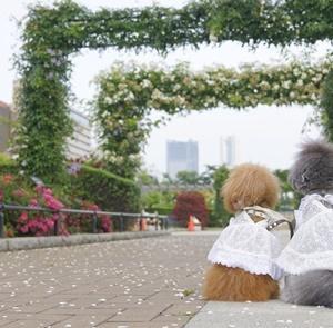 バラを見に♪②・山下公園