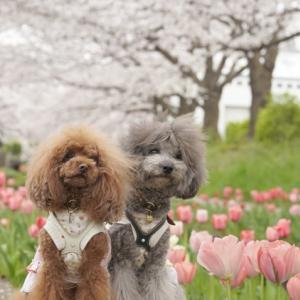 桜とチューリップ♪②
